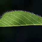 The Leaf  - From the Garden by Paul Campbell  Photography