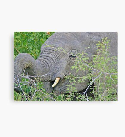 Elephant Hunger - Wildlife Happiness  Canvas Print