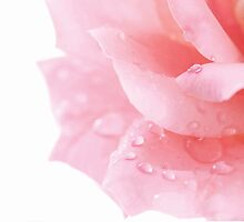Raindrops on Rose Petals by Alyson Fennell