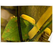 Yellow Eyelash Viper Poster