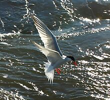 A Tern on the Hunt by Moxy