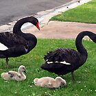 Swan family - near Lake Wendouree, Ballarat by Bev Pascoe