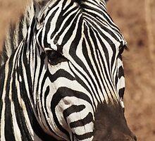 Zebra Portrait by Robin Hayward