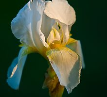 Iris at sunset by Duane Fulk