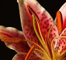 Stargazer Lily  by Duane Fulk