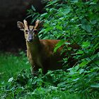 Male Muntjac deer 1 by John Newson