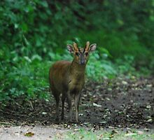 Male Muntjac deer 2 by John Newson