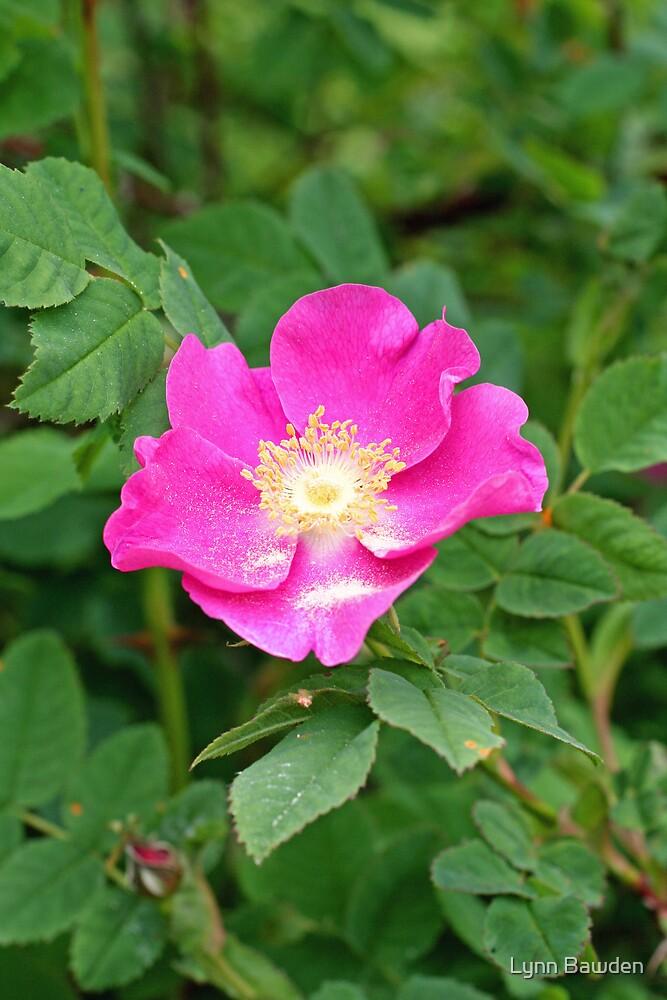 """A Wild Pink Rose"" by Lynn Bawden"