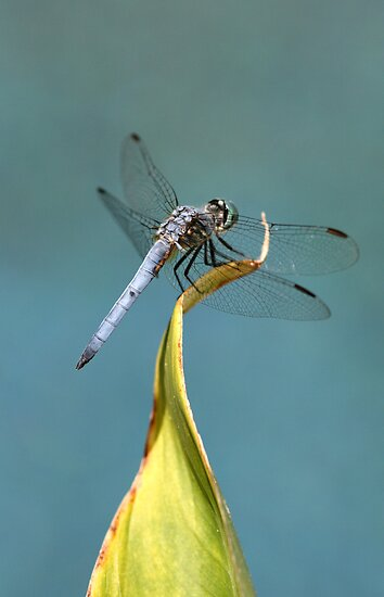 Blue Dasher Dragon by DARRIN ALDRIDGE
