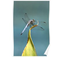 Blue Dasher Dragon Poster