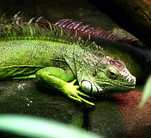 green iguana by James Price