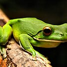 White Lipped Green Frog by Andrew Cumberland