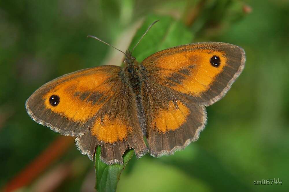 Gatekeeper Butterfly by cml16744