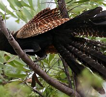 Pheasant Coucal by Stuart Cooney