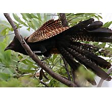 Pheasant Coucal Photographic Print