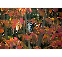 Downy Woodpecker in Autumn Photographic Print