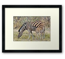 Zebra - African Wildlife - Paired up for Life Framed Print