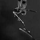 Dragonfly by BethBernier