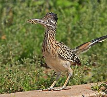 Greater Roadrunner by tomryan
