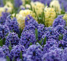 The Beauty of Hyacinths by Mirka Rueda Rodriguez