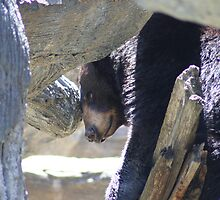 Bored Black Bear by Lori Walton