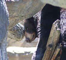 Bored Black Bear by Lori Walton