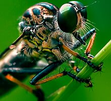 anatomy of a robberfly by rozdesign