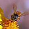 HONEY BEES PLEASE