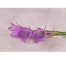 Three Wild Campanella Blossoms  Photographic Print