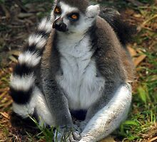 The Rign Tail Lemur by Nikki Collier