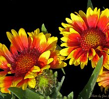 Blanket Flower © by jansnow