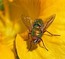 Golden Fly by Don Stott