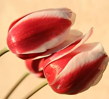 Tulips by KAlwan