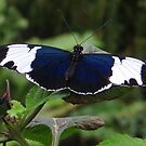 Butterfly Heliconius Cydno by ienemien