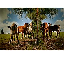 curious calves Photographic Print