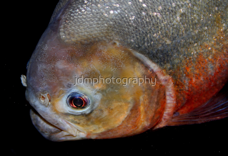 Red-bellied piranha by jdmphotography