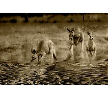 three kangaroos in sepia Photographic Print