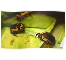 African sun beetle Poster