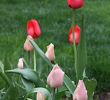 LucKY Tulips by Judi FitzPatrick