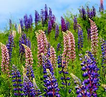 Wild Lupins IV by Kathleen Daley