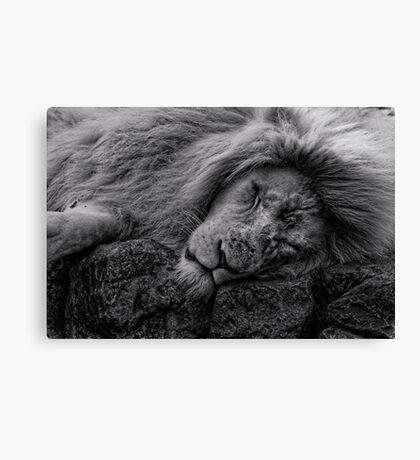 Sleeping Lion at Paradise Wildlife Park Canvas Print