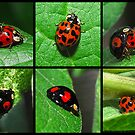 Harlequin Ladybird Variants by John Hooton