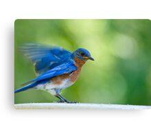 Salutations from Mr. Bluebird Canvas Print