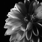 Dark side of the Dahlia by CinB