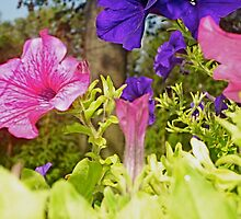 Summer Petunias 3 by Tara Filliater