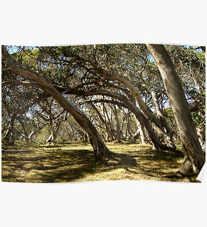 Wind Swept Snowgums,Victorian High Country Poster