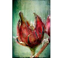 Roselle Photographic Print