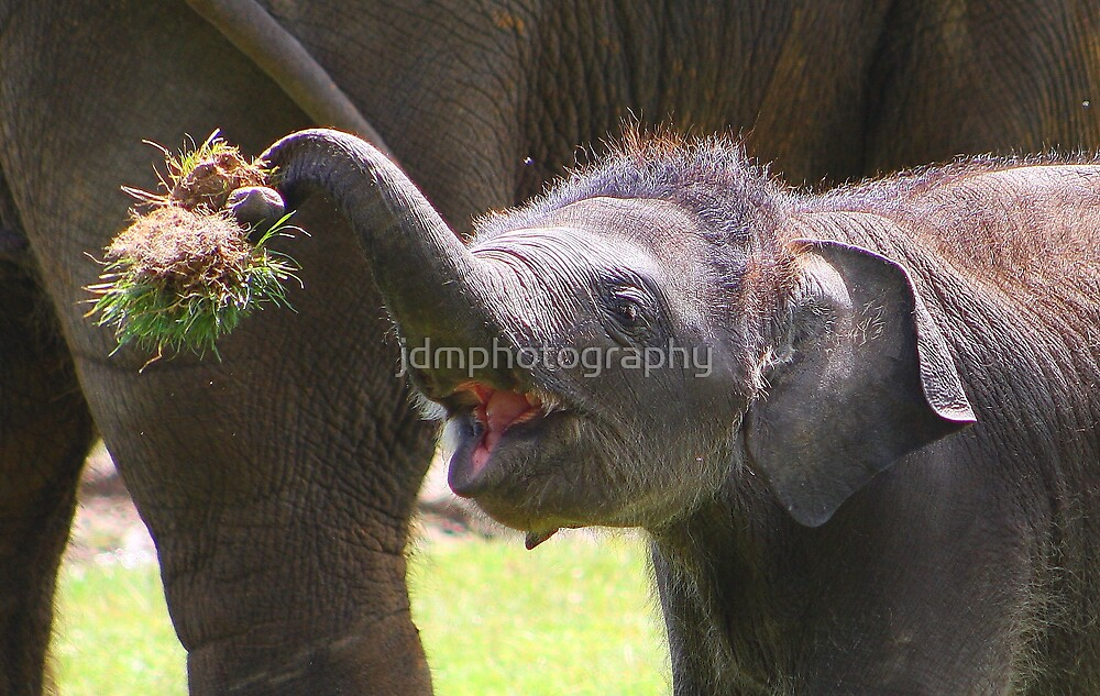 Baby elephant 2 of 4  by jdmphotography