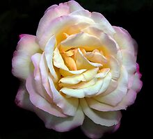 Mudgee Rose by David Mapletoft