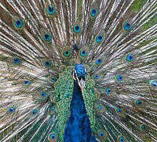 Peacock! by Austin Rattray
